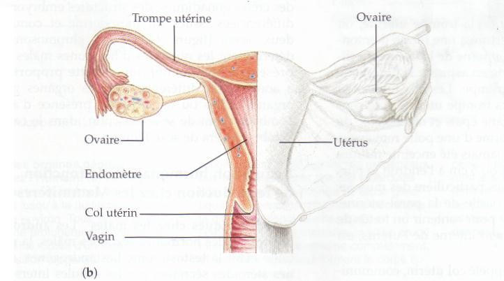 Appareil Genital Feminin Organes Genitaux Reproduction Sexe