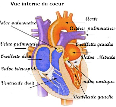 Coeur circulation sanguine interne